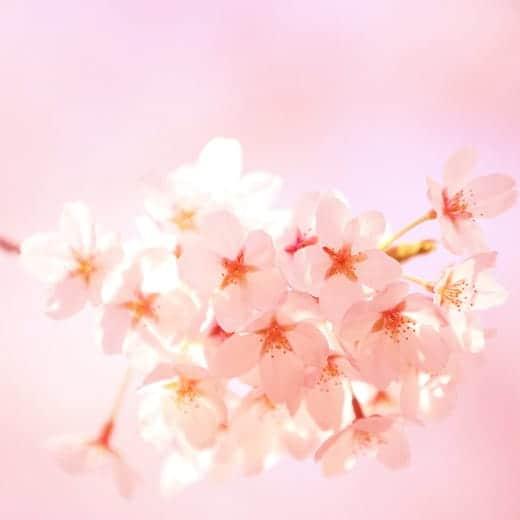 cherry blossom_ipad3 wallpaper