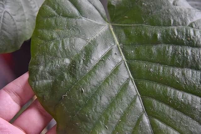 葉についた大量のホコリ