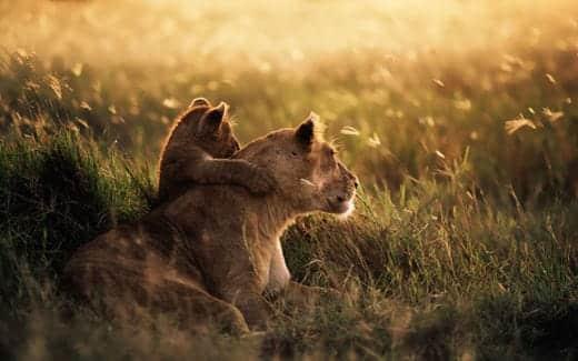 Mountain Lion スクリーンセーバーで使われる画像 ライオン
