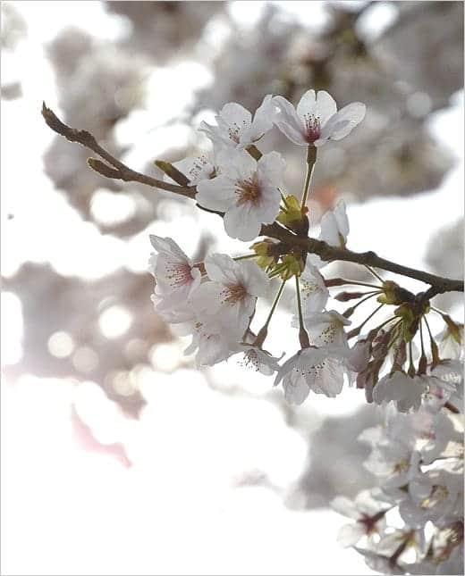桜満開2013 桜の写真2