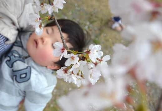 桜満開2013 息子のほっぺも桜色