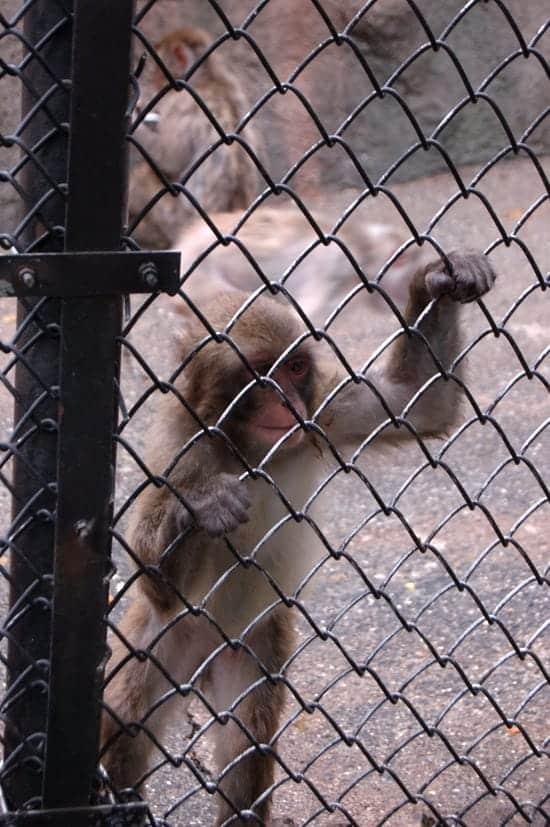 動物園の猿