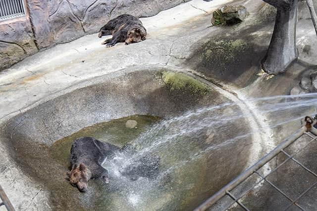 暑くてうなだれてる熊たち