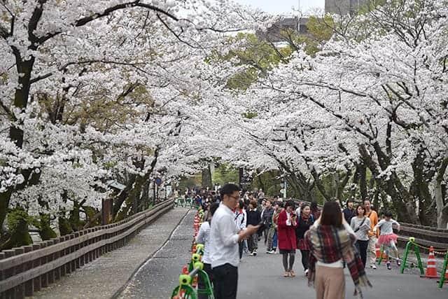桜満開の行幸坂