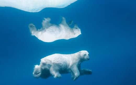 Mountain Lion スクリーンセーバーで使われる画像 白クマ