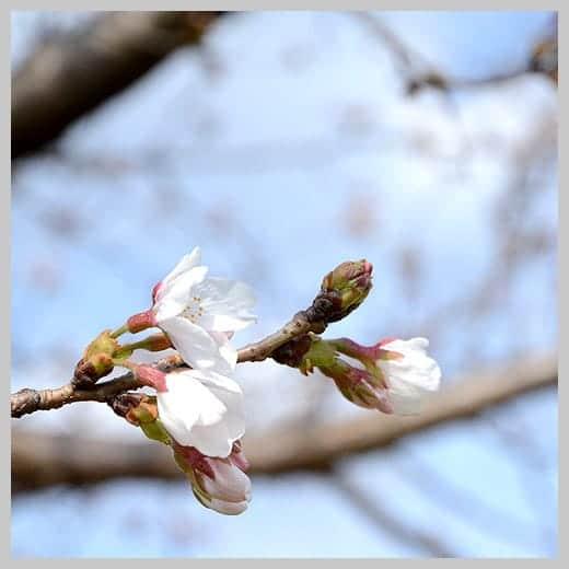 桜 5分咲き