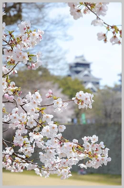 110402桜満開の熊本城