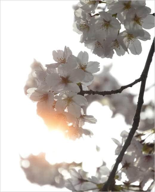 桜満開2013 桜の写真1