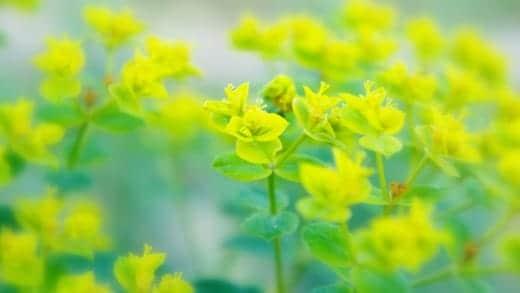 春色の壁紙 Yellow Green
